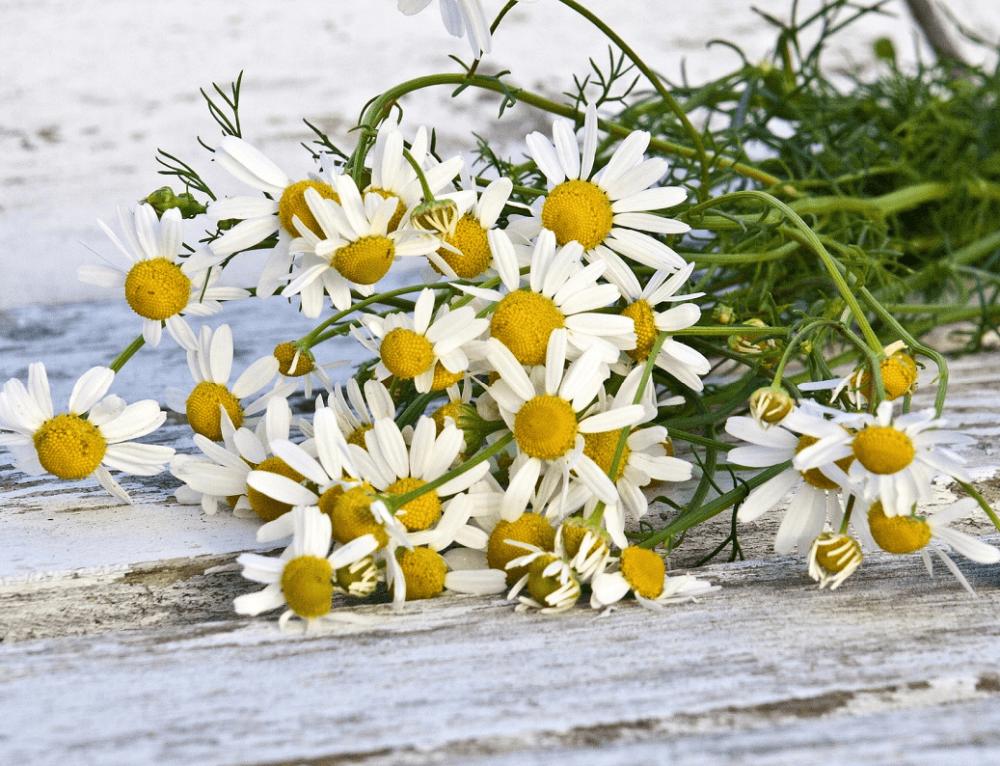 1. LA MANZANILLA 〈plantas locales con super-poderes para la piel〉